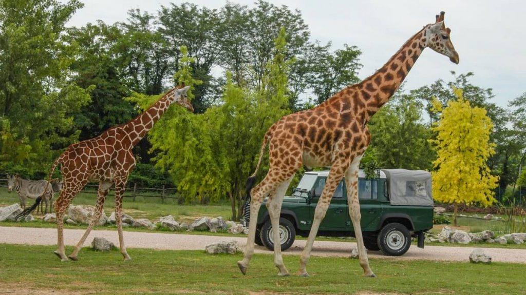 Giraffe allo zoo safari di Bussolengo