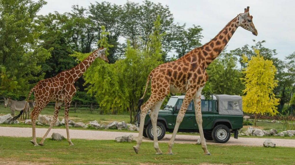 Giraffe al Parco Natura Viva: lo Zoo Safari di Bussolengo, vicino Verona e al Lago di Garda